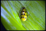 Southern Corn Rootworm