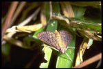 Tropical sod webworm, Photo by G. McIlveen, Jr.